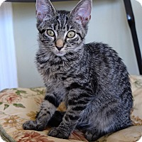 Domestic Shorthair Kitten for adoption in Island Park, New York - Daisy