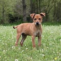 Beagle/Boxer Mix Dog for adoption in Jefferson, Texas - Zipp