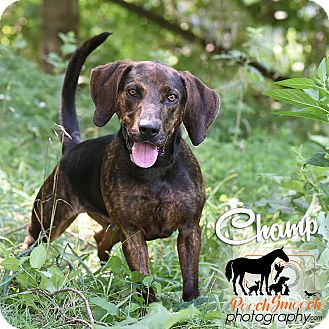 Plott Hound/Basset Hound Mix Dog for adoption in Broadway, New Jersey - Champ