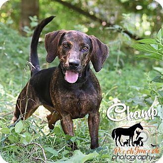 Plott Hound/Basset Hound Mix Dog for adoption in Broadway, New Jersey - Champ