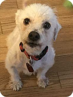 Bichon Frise Mix Dog for adoption in Baltimore, Maryland - Cooper