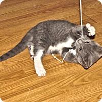 Adopt A Pet :: Boots - Rocky Hill, CT