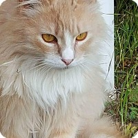 Maine Coon Cat for adoption in Wichita Falls, Texas - Catniss