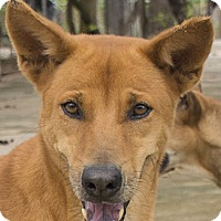 Labrador Retriever/Thai Ridgeback Mix Dog for adoption in Pickering, Ontario - Sara
