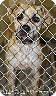 Black Mouth Cur/Boxer Mix Dog for adoption in Brooksville, Florida - CHARLIE BROWN