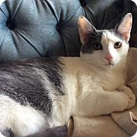 Domestic Shorthair Kitten for adoption in Carlisle, Pennsylvania - Deema