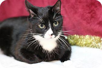 Domestic Shorthair Cat for adoption in Midland, Michigan - Freddy
