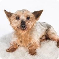 Yorkie, Yorkshire Terrier Dog for adoption in St. Louis Park, Minnesota - Claus