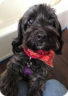 Miniature Schnauzer/Poodle (Miniature) Mix Dog for adoption in Richardson, Texas - Daisy