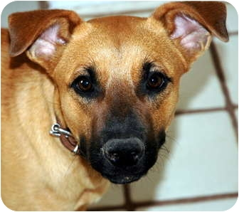 Black Mouth Cur/Shepherd (Unknown Type) Mix Dog for adoption in Phoenix, Arizona - Sadie