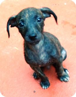 Chihuahua/Terrier (Unknown Type, Small) Mix Puppy for adoption in Brattleboro, Vermont - Joey JoJo