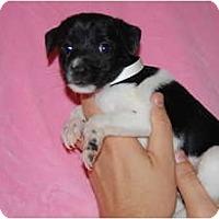 Adopt A Pet :: Dotsy - Coral Springs, FL