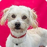 Adopt A Pet :: Hansel - Tumwater, WA