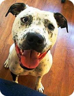Bulldog Mix Dog for adoption in Castro Valley, California - Frankie
