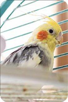 Cockatiel for adoption in Elizabeth, Colorado - Sergio