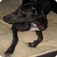 Adopt A Pet :: Dutch Lucille - Knoxville, TN