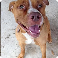 Pit Bull Terrier/Labrador Retriever Mix Dog for adoption in Valrico, Florida - Buddy