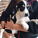 Adopt A Pet :: Maverick (11 lb) Video!