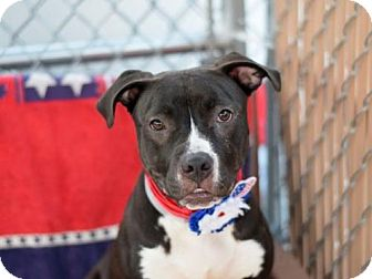American Pit Bull Terrier Mix Puppy for adoption in Manhattan, New York - Nori