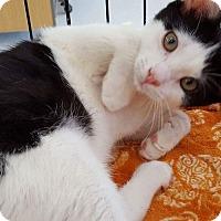 Domestic Shorthair Kitten for adoption in Old Bridge, New Jersey - Jake