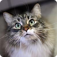 Adopt A Pet :: MR. PRECIOUS - Royal Oak, MI