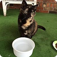 Calico Cat for adoption in Evans, West Virginia - INEZ