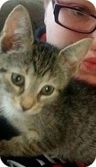 Domestic Shorthair Kitten for adoption in Raritan, New Jersey - Nikita
