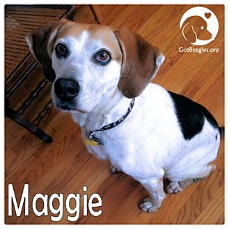 Beagle Dog for adoption in Pittsburgh, Pennsylvania - Maggie
