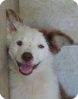Australian Shepherd Mix Puppy for adoption in Little Compton, Rhode Island - Angel