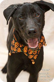 Labrador Retriever Mix Dog for adoption in Newnan City, Georgia - David
