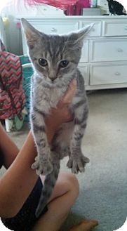 Domestic Shorthair Kitten for adoption in Locust, North Carolina - Mellow