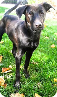 Labrador Retriever Mix Puppy for adoption in Mt. Prospect, Illinois - Ernie