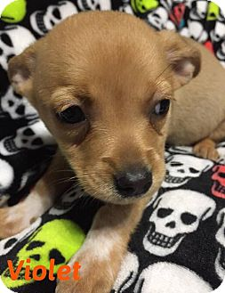 Chihuahua/Terrier (Unknown Type, Small) Mix Puppy for adoption in DeForest, Wisconsin - Violet
