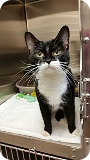 Domestic Shorthair Cat for adoption in Chambersburg, Pennsylvania - Cassidy