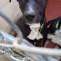 Adopt A Pet :: Scout - Staunton, VA