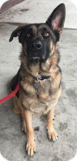 German Shepherd Dog Dog for adoption in Modesto, California - Astro