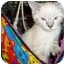 Photo 1 - Himalayan Kitten for adoption in Little Rock, Arkansas - Siam