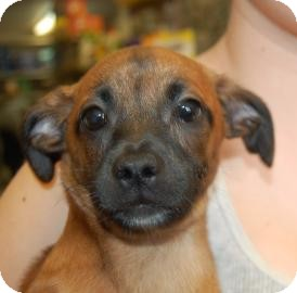 Chihuahua/Shih Tzu Mix Puppy for adoption in Brooklyn, New York - Benny