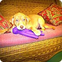 Adopt A Pet :: caden - Gadsden, AL