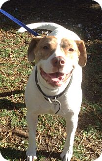 American Pit Bull Terrier/American Bulldog Mix Dog for adoption in Santa Ana, California - arthur