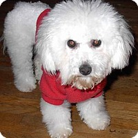 Bichon Frise Dog for adoption in Downey, California - We Need FOSTER HOMES for Bichon Frise dogs!