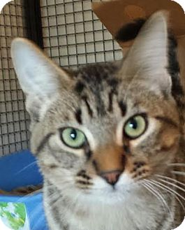 Domestic Shorthair Kitten for adoption in Colfax, Iowa - Marcus