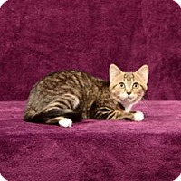 Adopt A Pet :: Maddie (Kitten) - Cary, NC