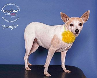 Fox Terrier (Smooth) Dog for adoption in Houston, Texas - Jennifer