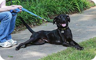 Labrador Retriever Dog for adoption in Nesbit, Mississippi - Ace