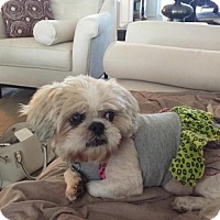 Shih Tzu Mix Dog for adoption in Alpharetta, Georgia - Baguette