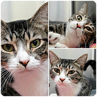 Domestic Shorthair Cat for adoption in Forked River, New Jersey - Ida May
