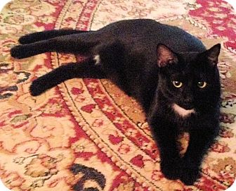 Domestic Shorthair Cat for adoption in Youngsville, North Carolina - Meow Meow
