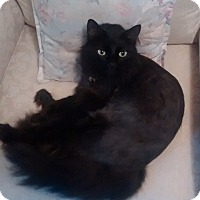 Maine Coon Cat for adoption in Rockville, Maryland - Spider