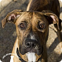 Great Dane Mix Dog for adoption in Baton Rouge, Louisiana - Kenickie